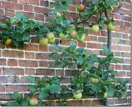 15017328-an-apple-tree-trained-to-grow-on-a-brick-wall