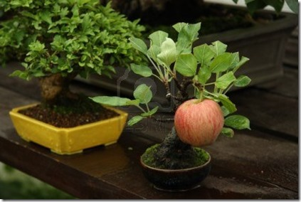 15662622-bonsai-miniature-apple-tree-with-a-ripe-apple-in-a-garden