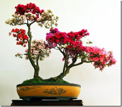azalea-bonsai-tree-care