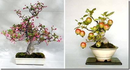 bonsai-apple-tree