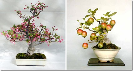 bonsai-apple-tree