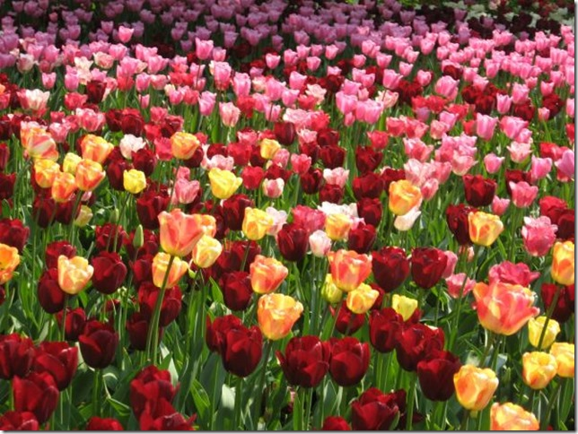 tulip-purple-pink-flower-garden-nature-yellow-red-18