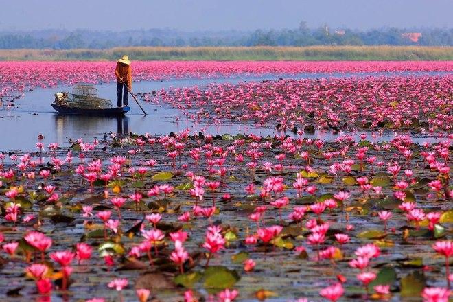 LCHeringer_flor-de-lotus-Tailandia